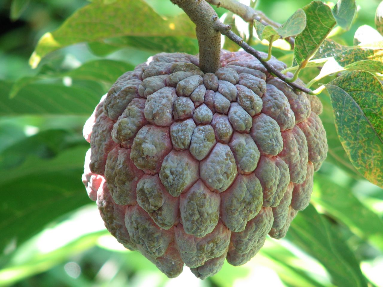 PAPAUSA FRUIT MEXICO - CACAO POTS EXOTIC FRUIT (click image to view)