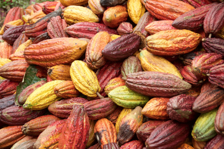 colorful cacao pods - CACAO POTS EXOTIC FRUIT (click image to view)
